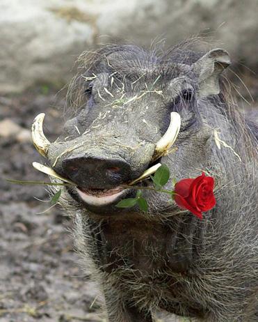 warthog-valentines-day-web